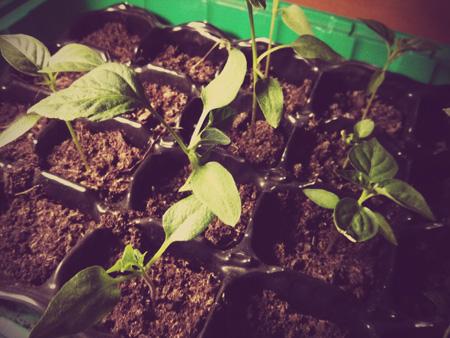 growbox uprawa chilli