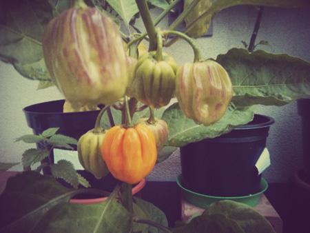 habanero uprawa chilli papryka